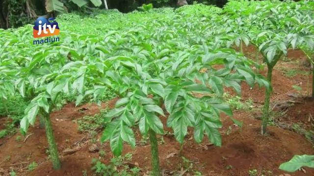 Budidaya porang, prospek tanaman yang menjanjikan